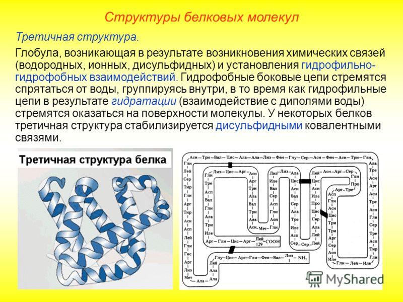 Третичная структура. Глобула, возникающая в результате возникновения химических связей (водородных, ионных, дисульфидных) и установления гидрофильно- гидрофобных взаимодействий. Гидрофобные боковые цепи стремятся спрятаться от воды, группируясь внутр