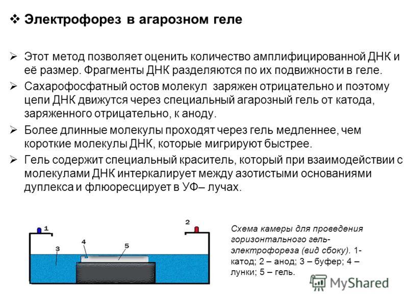 Электрофорез в агарозном геле Этот метод позволяет оценить количество амплифицированной ДНК и её размер. Фрагменты ДНК разделяются по их подвижности в геле. Сахарофосфатный остов молекул заряжен отрицательно и поэтому цепи ДНК движутся через специаль