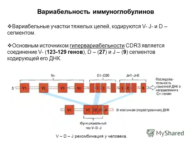 Вариабельность иммуноглобулинов Вариабельные участки тяжелых цепей, кодируются V- J- и D – сегментом. Основным источником гипервариабельности CDR3 является соединение V- (123-129 генов), D – (27) и J – (9) сегментов кодирующей его ДНК. V – D – J реко