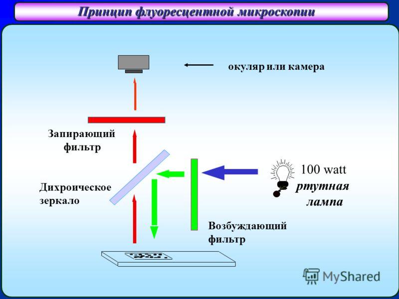 Принцип флуоресцентной микроскопии Запирающий фильтр Дихроическое зеркало Возбуждающий фильтр 100 watt ртутная лампа окуляр или камера