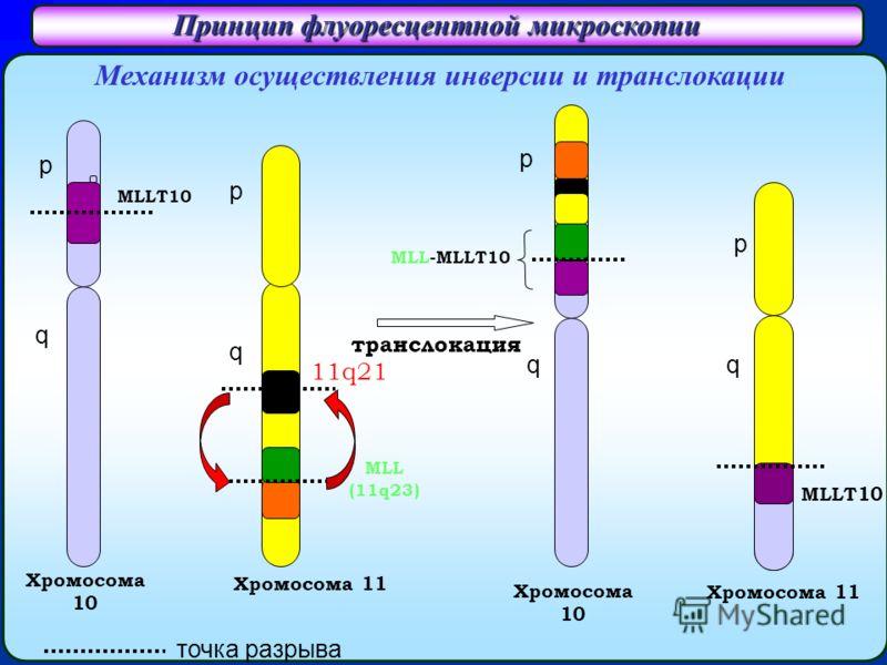 Принцип флуоресцентной микроскопии Хромосома 10 Хромосома 11 MLLТ10 Механизм осуществления инверсии и транслокации Хромосома 11 MLL (11q23) транслокация MLL-MLLT10 MLLT10 p q 11q21 q p p q Хромосомa 10 p q точка разрыва
