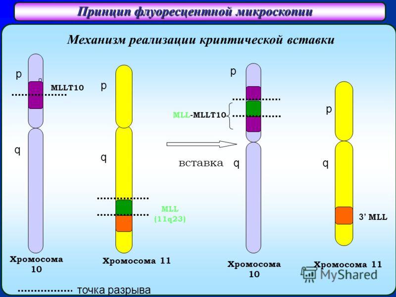 Принцип флуоресцентной микроскопии Хромосома 10 Хромосома 11 3 MLL Хромосома 11 MLL (11q23) вставка MLL-MLLT10 MLLT10 p q q p p q Хромосомa 10 p q Механизм реализации криптической вставки точка разрыва