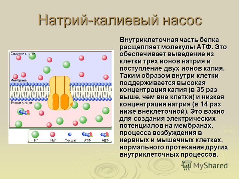 Натрий-калиевый насос Внутриклеточная часть белка расщепляет молекулы АТФ. Это обеспечивает выведение из клетки трех ионов натрия и поступление двух ионов калия. Таким образом внутри клетки поддерживается высокая концентрация калия (в 35 раз выше, че
