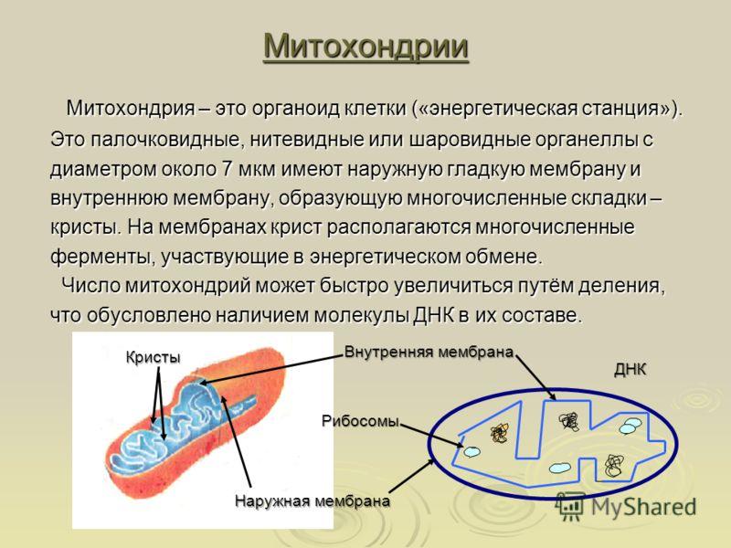 Митохондрии Митохондрия – это органоид клетки («энергетическая станция»). Митохондрия – это органоид клетки («энергетическая станция»). Это палочковидные, нитевидные или шаровидные органеллы с диаметром около 7 мкм имеют наружную гладкую мембрану и в