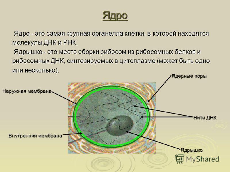 Ядро Ядро - это самая крупная органелла клетки, в которой находятся Ядро - это самая крупная органелла клетки, в которой находятся молекулы ДНК и РНК. Ядрышко - это место сборки рибосом из рибосомных белков и Ядрышко - это место сборки рибосом из риб