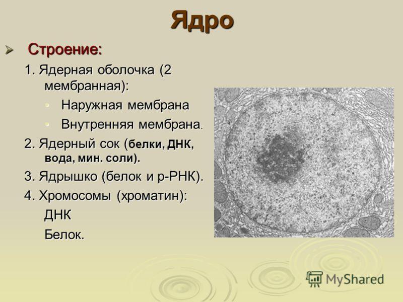 Ядро Строение: Строение: 1. Ядерная оболочка (2 мембранная): Наружная мембранаНаружная мембрана Внутренняя мембрана.Внутренняя мембрана. 2. Ядерный сок ( лки, ДНК, вода, мин. соли). 2. Ядерный сок ( белки, ДНК, вода, мин. соли). 3. Ядрышко (белок и р