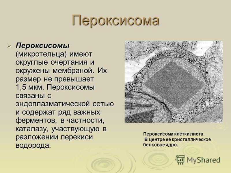 Пероксисома Пероксисомы (микротельца) имеют округлые очертания и окружены мембраной. Их размер не превышает 1,5 мкм. Пероксисомы связаны с эндоплазматической сетью и содержат ряд важных ферментов, в частности, каталазу, участвующую в разложении перек