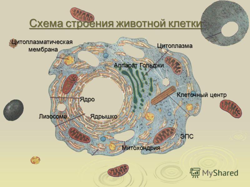 Схема строения животной клетки Схема строения животной клеткиЯдрышко Ядро Митохондрия Лизосома Клеточный центр Цитоплазматическая мембрана мембрана Цитоплазма Аппарат Гольджи ЭПС