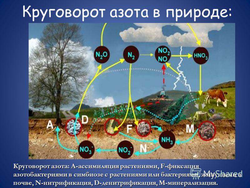 Круговорот азота в природе: Круговорот азота: А-ассимиляция растениями, F-фиксация азотобактериями в симбиозе с растениями или бактериями, живущими в почве, N-нитрификация, D-денитрификация, М-минерализация.