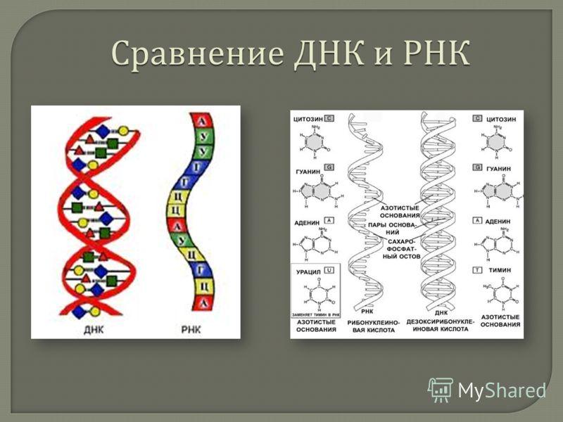Сравнение ДНК и РНК