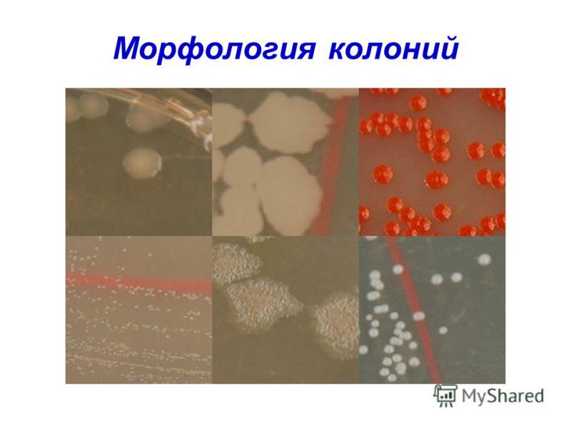 Морфология колоний