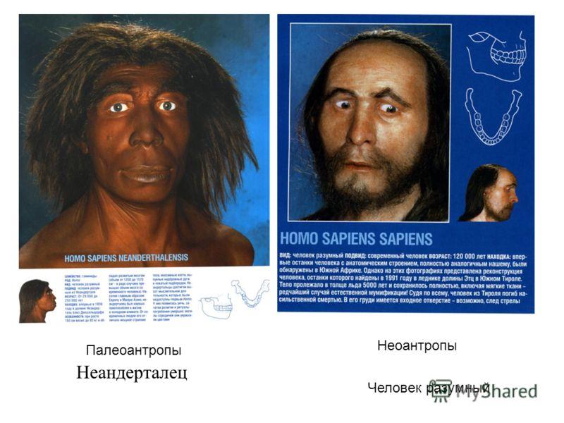 Неандерталец Человек разумный Палеоантропы Неоантропы