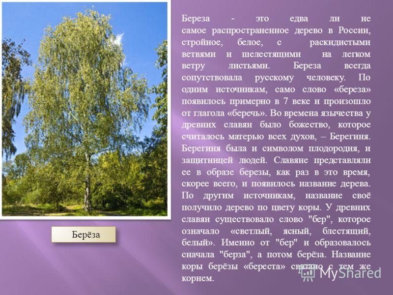 Берёза Береза - это едва ли не самое распространенное дерево в России, стройное, белое, с раскидистыми ветвями и шелестящими на легком ветру листьями. Береза всегда сопутствовала русскому человеку. По одним источникам, само слово « береза » появилось