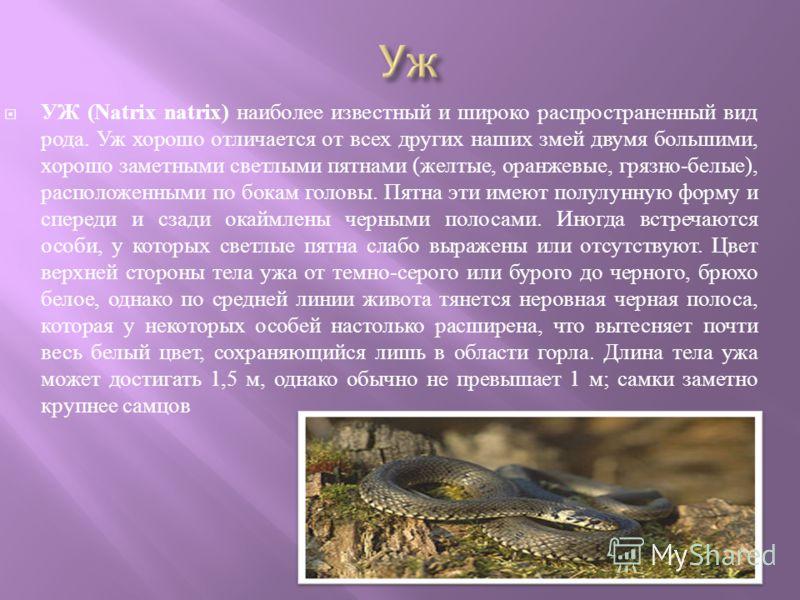 УЖ (Natrix natrix) наиболее известный и широко распространенный вид рода. Уж хорошо отличается от всех других наших змей двумя большими, хорошо заметными светлыми пятнами ( желтые, оранжевые, грязно - белые ), расположенными по бокам головы. Пятна эт