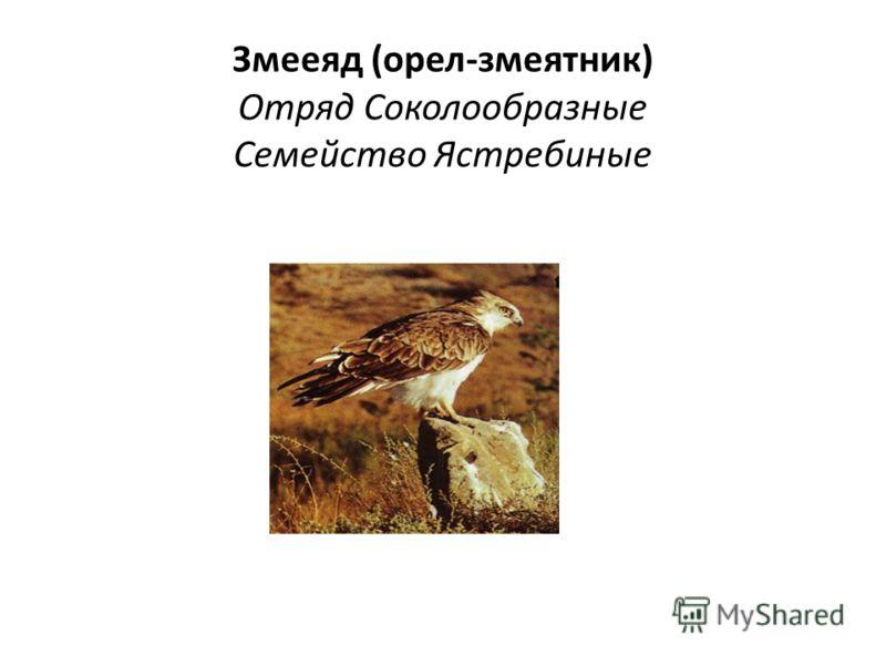 Змееяд (орел-змеятник) Отряд Соколообразные Семейство Ястребиные