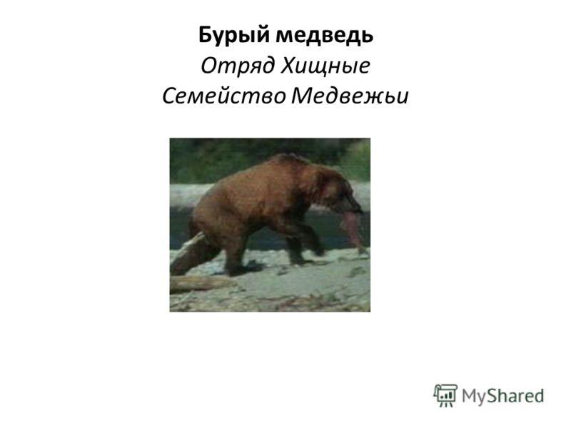 Бурый медведь Отряд Хищные Семейство Медвежьи