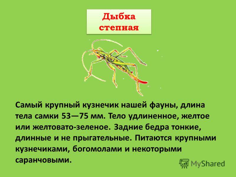 Дыбка степная Дыбка степная Самый крупный кузнечик нашей фауны, длина тела самки 5375 мм. Тело удлиненное, желтое или желтовато-зеленое. Задние бедра тонкие, длинные и не прыгательные. Питаются крупными кузнечиками, богомолами и некоторыми саранчовым