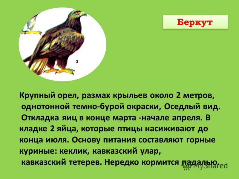 Крупный орел, размах крыльев около 2 метров, однотонной темно-бурой окраски, Оседлый вид. Откладка яиц в конце марта -начале апреля. В кладке 2 яйца, которые птицы насиживают до конца июля. Основу питания составляют горные куриные: кеклик, кавказский