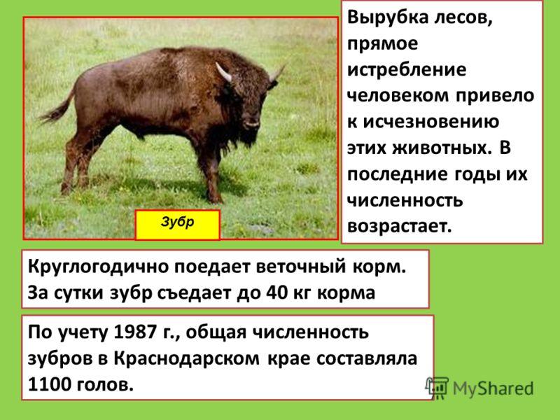 Зубр Круглогодично поедает веточный корм. За сутки зубр съедает до 40 кг корма По учету 1987 г., общая численность зубров в Краснодарском крае составляла 1100 голов. Вырубка лесов, прямое истребление человеком привело к исчезновению этих животных. В