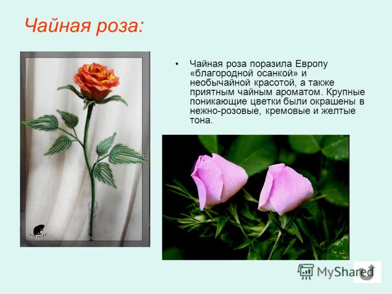 Чайная роза: Чайная роза поразила Европу «благородной осанкой» и необычайной красотой, а также приятным чайным ароматом. Крупные поникающие цветки были окрашены в нежно-розовые, кремовые и желтые тона.