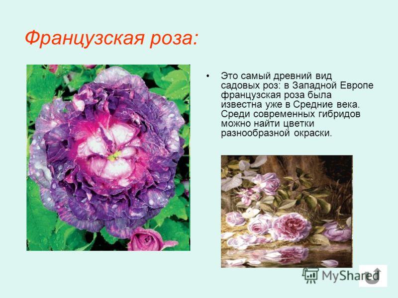 Французская роза: Это самый древний вид садовых роз: в Западной Европе французская роза была известна уже в Средние века. Среди современных гибридов можно найти цветки разнообразной окраски.