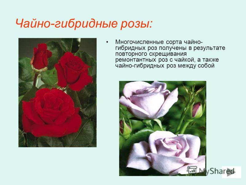 Чайно-гибридные розы: Многочисленные сорта чайно- гибридных роз получены в результате повторного скрещивания ремонтантных роз с чайкой, а также чайно-гибридных роз между собой