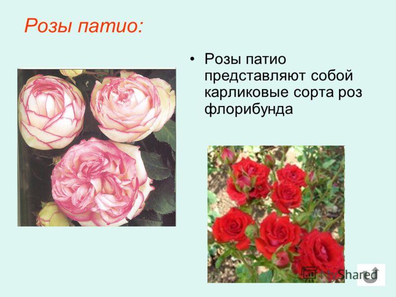 Розы патио: Розы патио представляют собой карликовые сорта роз флорибунда
