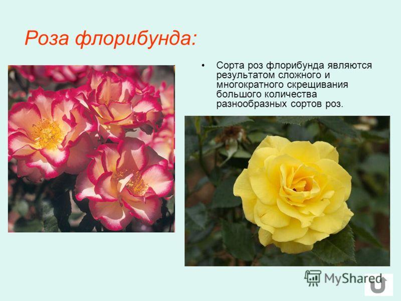 Роза флорибунда: Сорта роз флорибунда являются результатом сложного и многократного скрещивания большого количества разнообразных сортов роз.