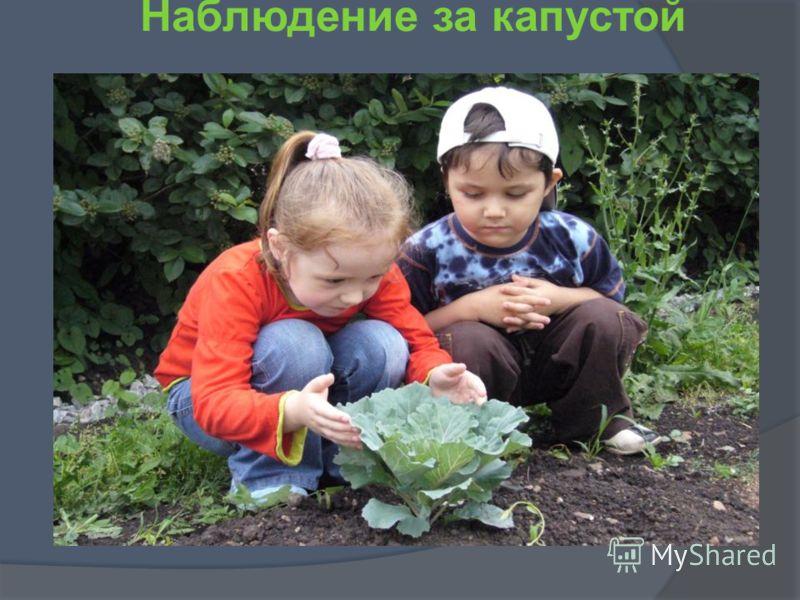 Наблюдение за капустой