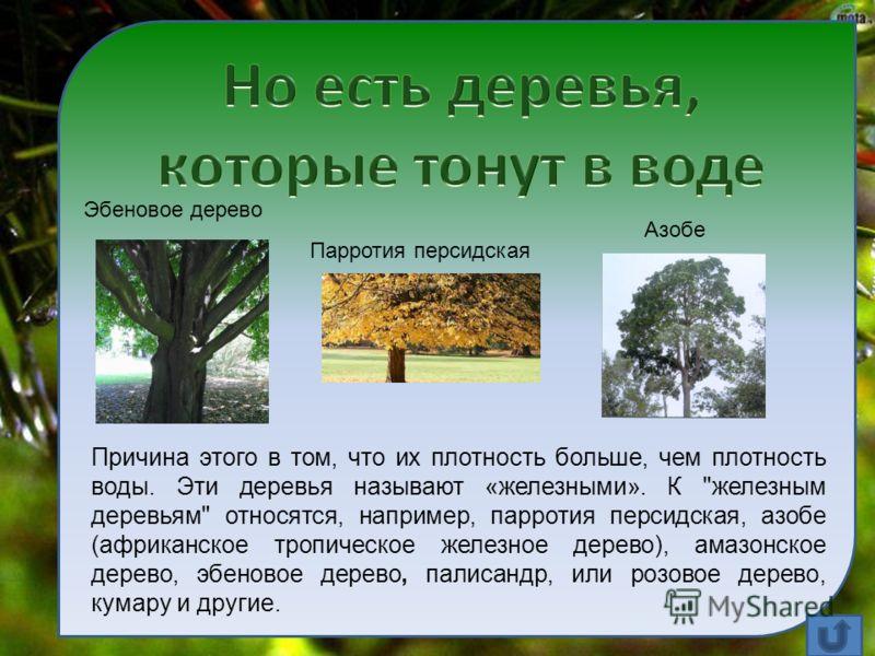 Причина этого в том, что их плотность больше, чем плотность воды. Эти деревья называют «железными». К