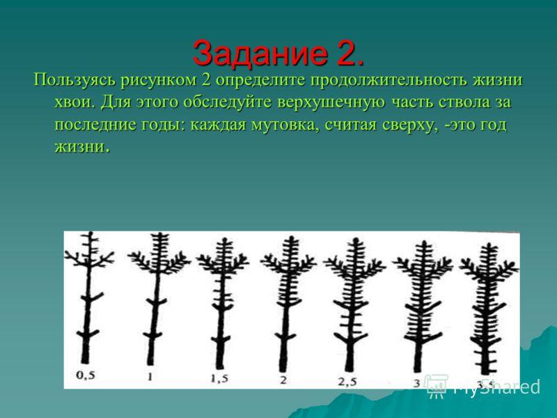 Задание 2. Пользуясь рисунком 2 определите продолжительность жизни хвои. Для этого обследуйте верхушечную часть ствола за последние годы: каждая мутовка, считая сверху, -это год жизни.