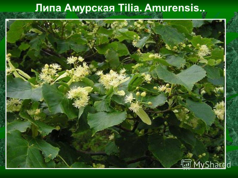 Липа Амурская Tilia. Amurensis..