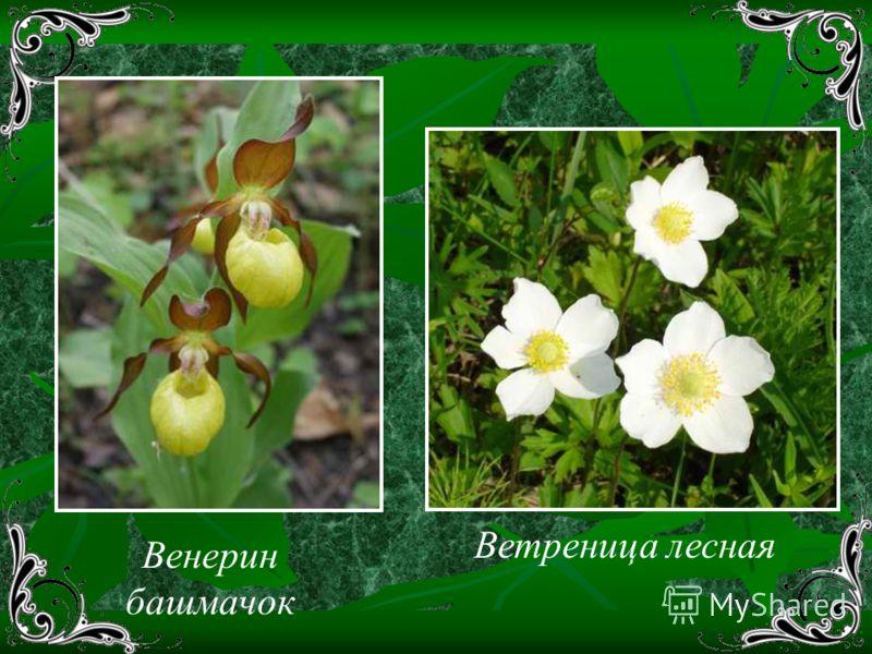 Венерин башмачок Ветреница лесная