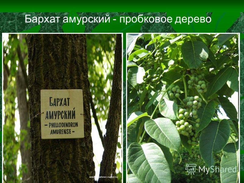 Бархат амурский - пробковое дерево