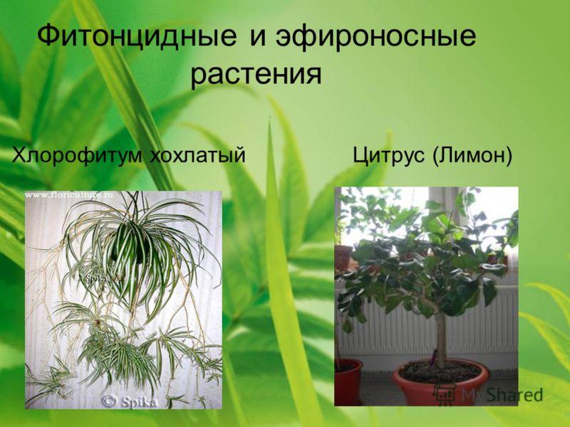 Фитонцидные и эфироносные растения Хлорофитум хохлатый Цитрус (Лимон)