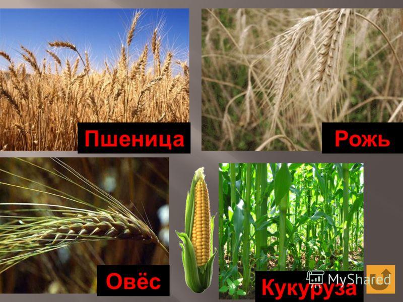 РожьПшеница ОвёсКукуруза