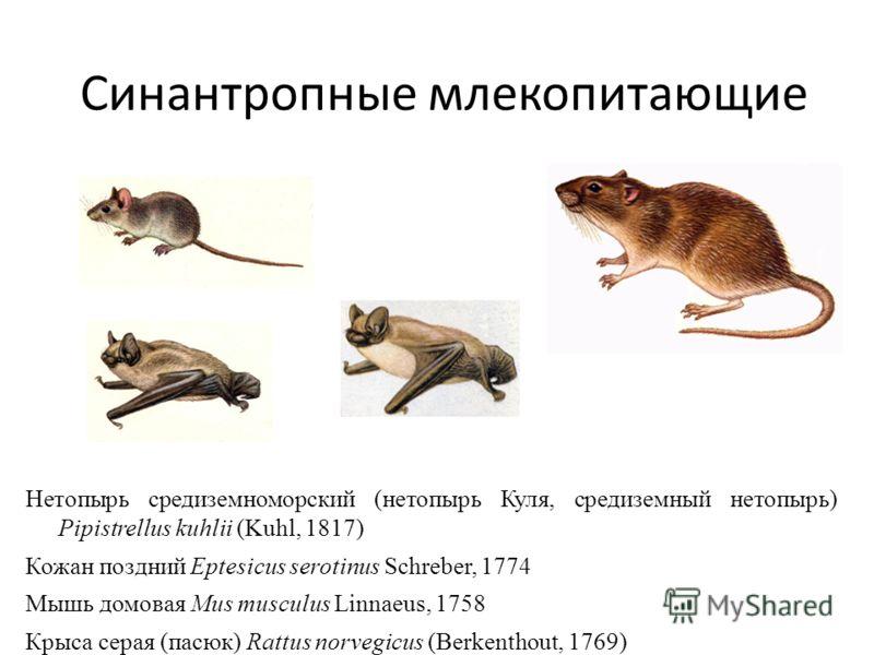 Синантропные млекопитающие Нетопырь средиземноморский (нетопырь Куля, средиземный нетопырь) Pipistrellus kuhlii (Kuhl, 1817) Кожан поздний Eptesicus serotinus Schreber, 1774 Мышь домовая Mus musculus Linnaeus, 1758 Крыса серая (пасюк) Rattus norvegic
