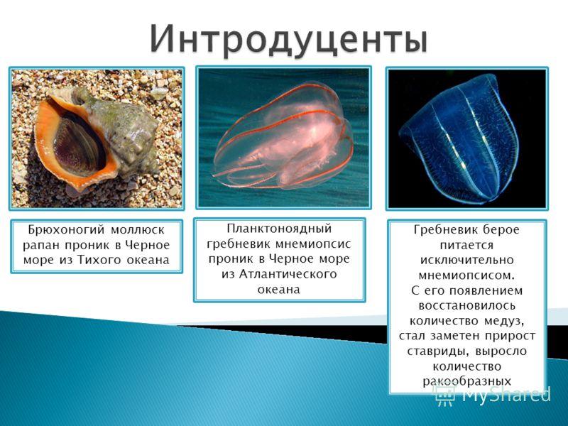 Брюхоногий моллюск рапан проник в Черное море из Тихого океана Планктоноядный гребневик мнемиопсис проник в Черное море из Атлантического океана Гребневик берое питается исключительно мнемиопсисом. С его появлением восстановилось количество медуз, ст