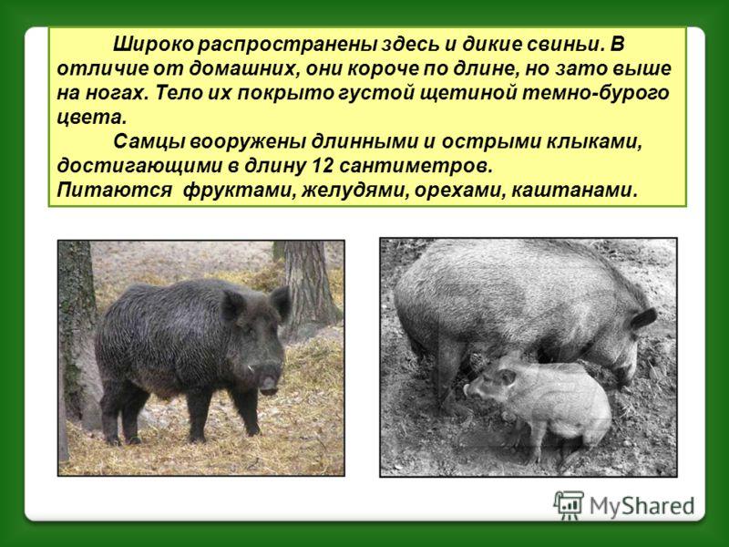 «Хозяином леса» является кавказский медведь. По росту и силе он уступает бурому медведю. Летом его можно увидеть на лесных полянах и на лугах. Осенью, когда созревают каштаны, дикие груши, буковые орешки, косолапый питается ими.
