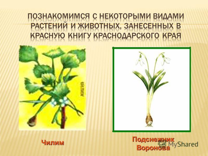 В нее занесены редкие и исчезающие виды растений и животных, обитающие рядом с нами, в наших полях и лесах.