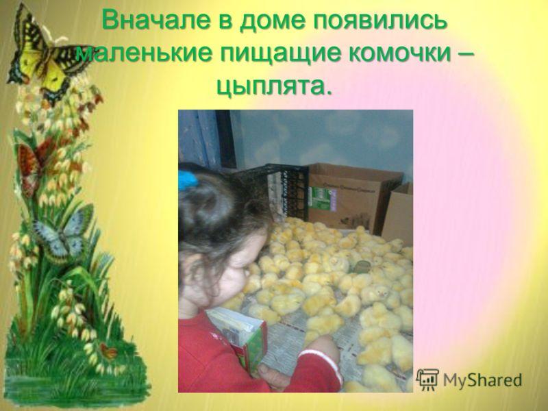 Вначале в доме появились маленькие пищащие комочки – цыплята.