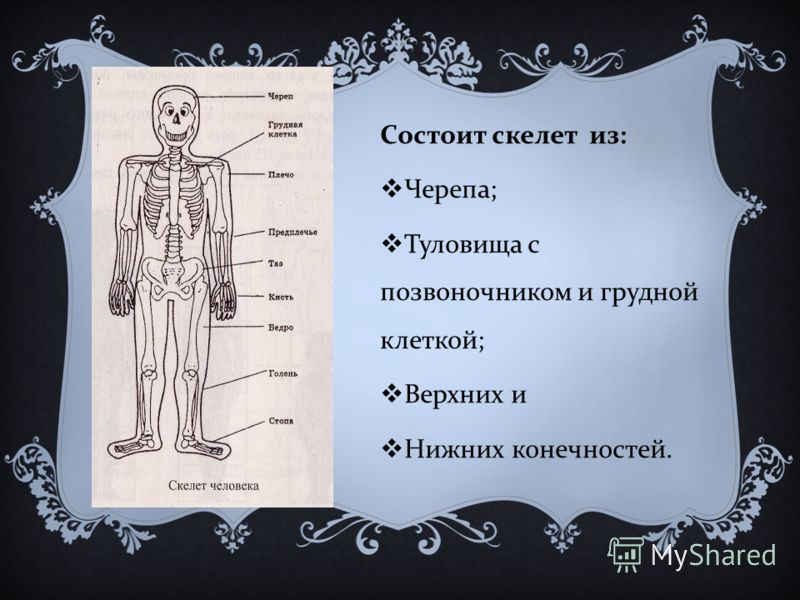 Состоит скелет из : Черепа ; Туловища с позвоночником и грудной клеткой ; Верхних и Нижних конечностей.