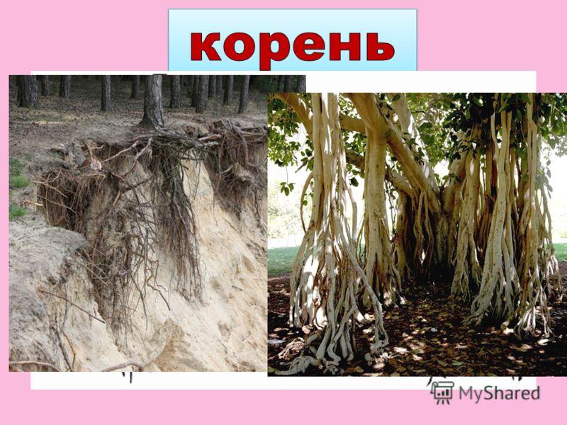 Рост растения начинается с корня. С помощью корневых волосков растения получают из почвы воду и растворённые в ней питательные вещества.
