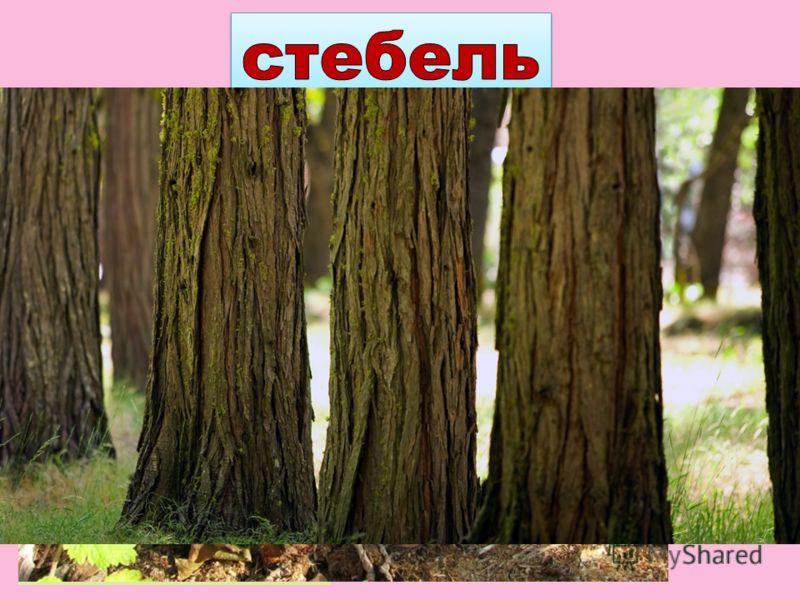 Стебли разных растений неодинаковы. У травянистых растений стебли мягкие, сочные. У деревьев и кустарников – твёрдые, одревесневшие.