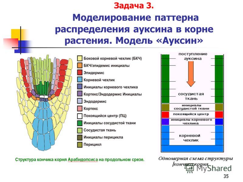 35 Задача 3. Моделирование паттерна распределения ауксина в корне растения. Модель «Ауксин»