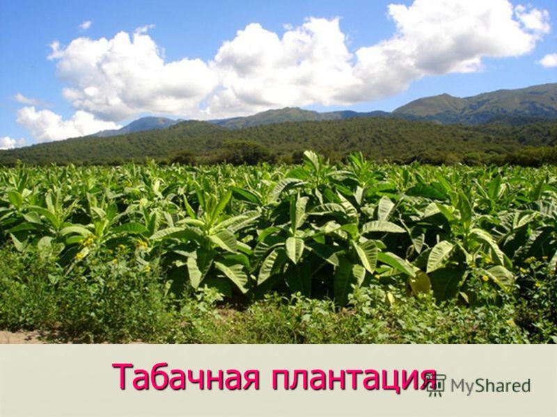 Табачная плантация
