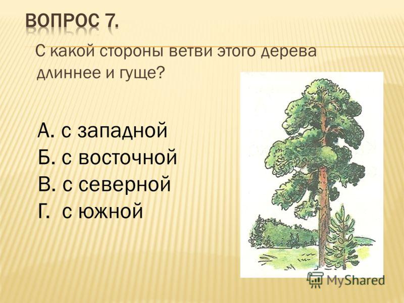 С какой стороны ветви этого дерева длиннее и гуще? А. с западной Б. с восточной В. с северной Г. с южной