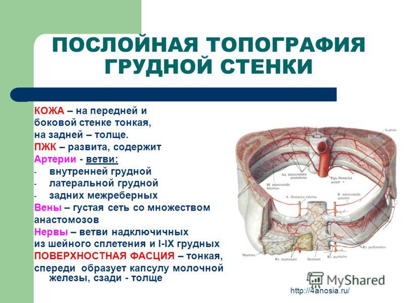 ПОСЛОЙНАЯ ТОПОГРАФИЯ ГРУДНОЙ СТЕНКИ КОЖА – на передней и боковой стенке тонкая, на задней – толще. ПЖК – развита, содержит Артерии - ветви: - внутренней грудной - латеральной грудной - задних межреберных Вены – густая сеть со множеством анастомозов Н