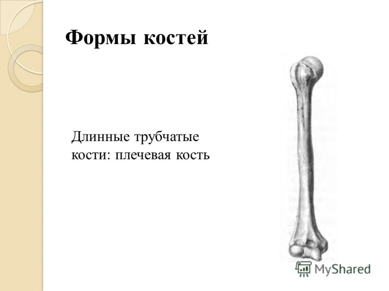 Формы костей Длинные трубчатые кости: плечевая кость