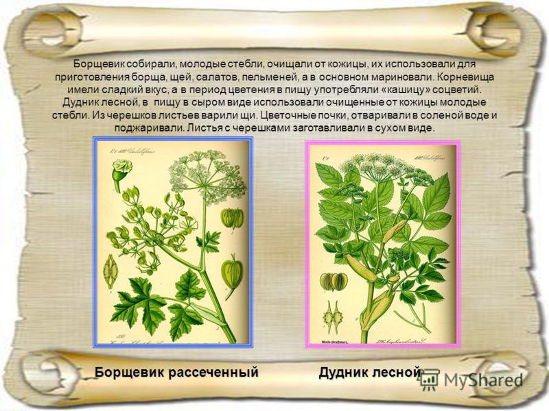 Борщевик собирали, молодые стебли, очищали от кожицы, их использовали для приготовления борща, щей, салатов, пельменей, а в основном мариновали. Корневища имели сладкий вкус, а в период цветения в пищу употребляли «кашицу» соцветий. Дудник лесной, в